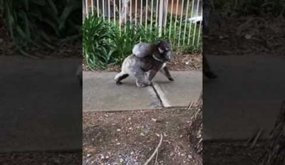 Just a Mama Koala Taking Her Baby on a Little Walk