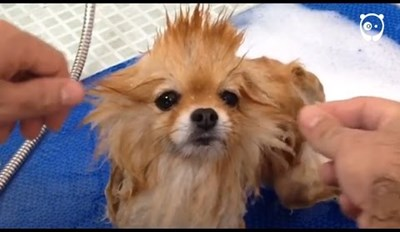 Watch These Dogs Get Scrubbed and Groomed Until They're Fabulous