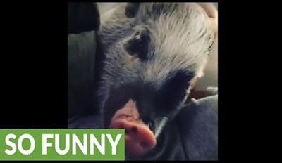 Ginger the Mini Pig Either Loves or Hates the Attention She's Getting