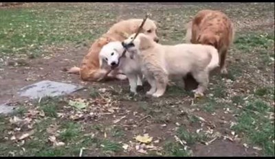 """These Golden Retriever Puppies Adorably Sharing a Stick Will Make You Say """"Aww!"""""""