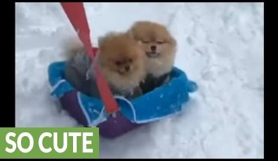 Pomeranians Bail on Their Sleigh Ride to Play in the Snow