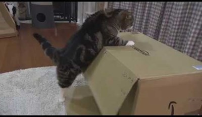 Maru Forgets That Being Inside of a Cardboard Box Is Best, Tries Sitting on Top of One