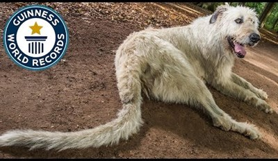 Keon the Irish Wolfhound Just Set a World Record With His Super Long Tail