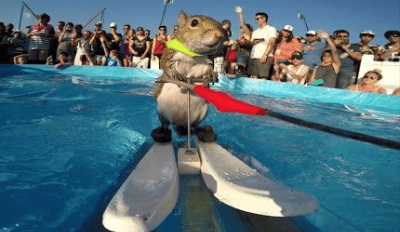 Watch In Amazement At This Squirrel's Water Skiing Skill!