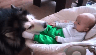 Watch This Big, Fluffy Dog Lovingly Watch Over a 4-Month-Old Baby
