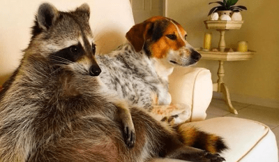 This Orphaned Raccoon Thinks She's Just Another Dog in Her New Family