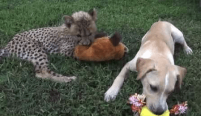 A Lonely Cheetah Cub Got a Puppy Companion, Now They Are Best Friends