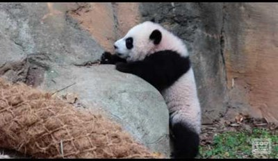Watch a Couple of Precious Panda Cubs Practice Their Climbing Skills