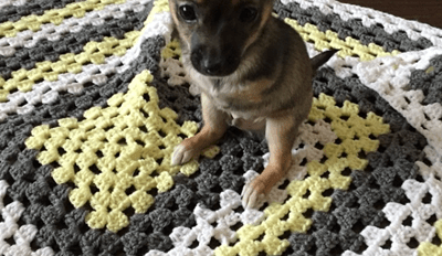 Get Ready to Fall in Love With Jack, the Two-Legged Chihuahua