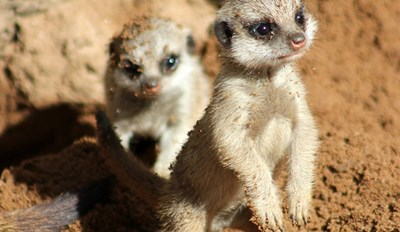 Two Tiny Meerkat Pups Get Their First Taste of the Outdoors