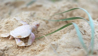 Meet Alby, an Adorable and Rare Albino Green Turtle
