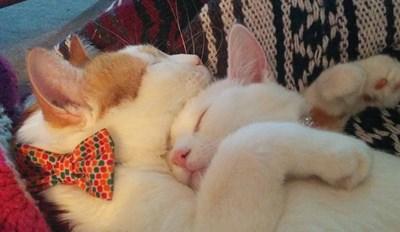 Cuddle Kittens