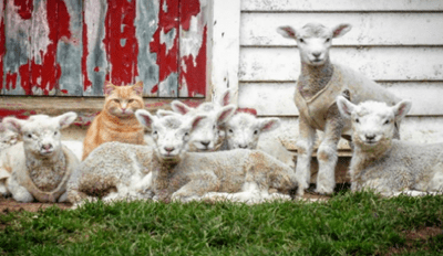 Cat in New Zealand Spends All of His Time Hanging out With Sheep