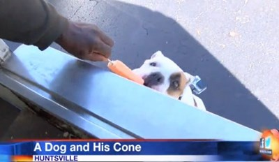 Local News Covers English Bulldog's Love of the Ice Cream Truck