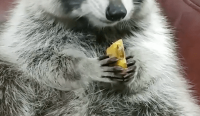 Watch a Fluffy Raccoon Enjoy a Delicious Persimmon Snack