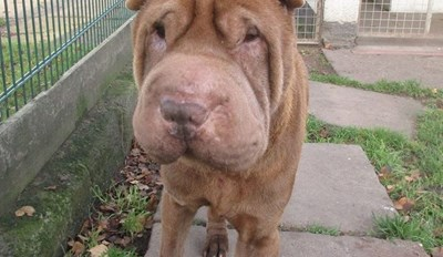A Dog Rescue in the UK Is Desperately Trying to Raise Funds for Hector the Shar Pei