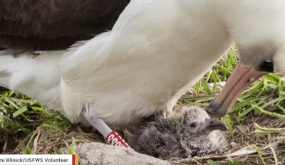 The World's Oldest Wild Bird Has Given Birth at 66 Years Old
