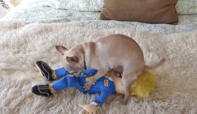 Chihuahua Makes Sweet, Sweet Love to His Favorite Toy