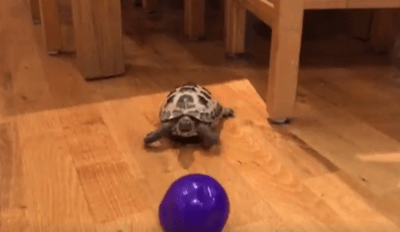 Adorable Tortoise Playing With a Ball Proves They're Actually Pretty Fast