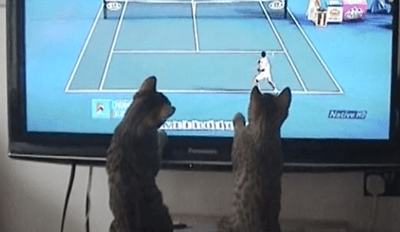 Bengal Kittens Try to Play Tennis With the Athletes on TV