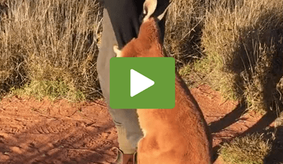 Cute video of a baby kangaroo who doesn't want to let go of the person's hand as they try to walk away.