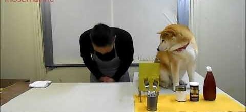 Shiba Inus Make Terrible Sous Chefs