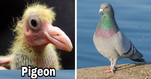 funny pics of baby birds compared to what they look like when they get older | scary looking baby pigeon and normal looking adult pigeon