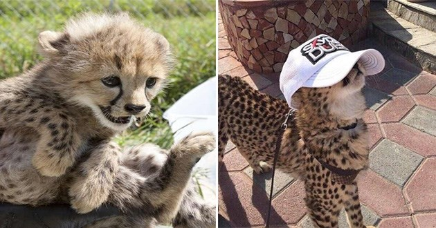 cute pics of cheetahs | baby cheetahs with cute happy faces and lots of spots, Adorable cheetah is wearing a baseball cap and it shouldn't be this cute