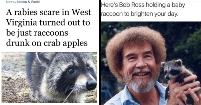 Funny memes about raccoons | News Nation Warld rabies scare West Virginia turned out be just raccoons drunk on crab apples. Here's Bob Ross holding baby raccoon brighten day.