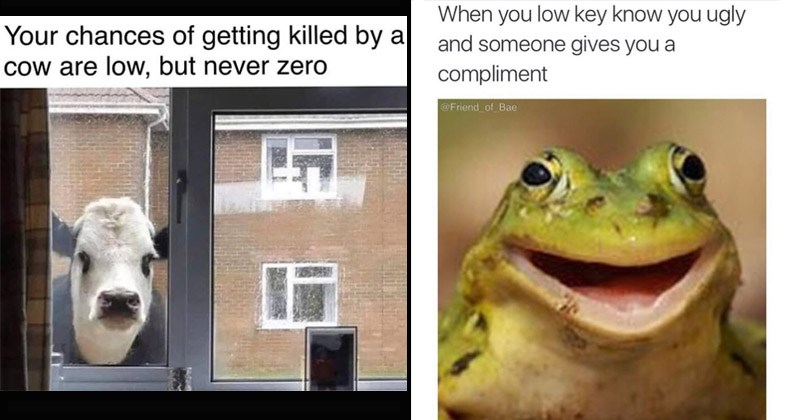 Funny animal memes | cow looking menacingly through a window and caption that reads chances getting killed by cow are low, but never zero. happy frog with a caption that reads low key know ugly and someone gives compliment.