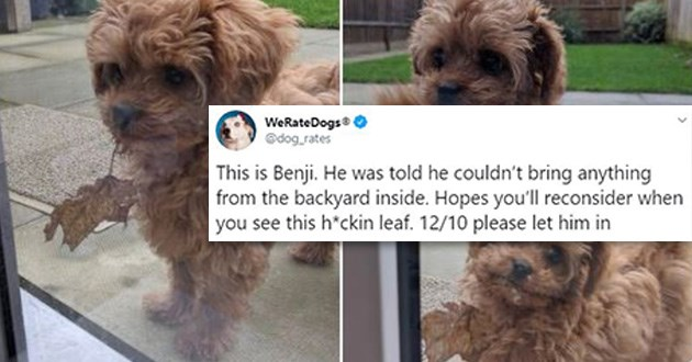 cute funny tweets twitter thread benji dog dogs backyard not allowed leaf animals | tweet by dog_rates This is Benji. He told he couldn't bring anything backyard inside. Hopes reconsider see this h*ckin leaf. 12/10 please let him