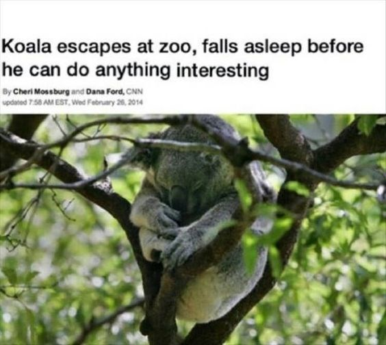 cute koala memes | koala curled up between tree branches taking a snooze, headline that reads Koala escapes at zoo, falls asleep before he can do anything interesting