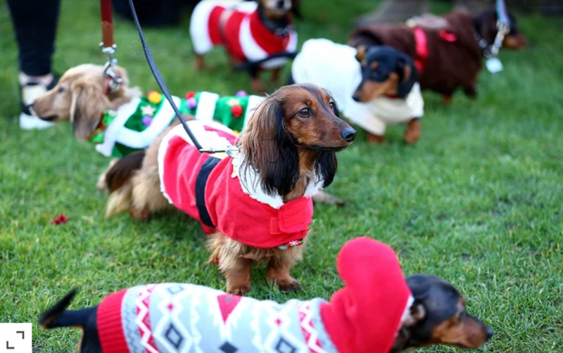 A parade of Dachshunds Wearing Christmas Jumpers in london, adorable wiener dogs wearing Christmas themed outfits