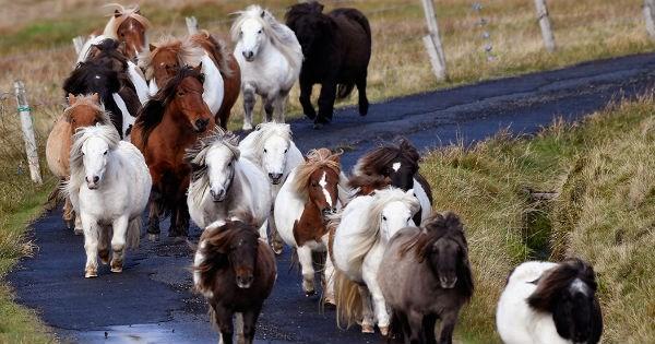 britain ponies island miniature horses - 1005061