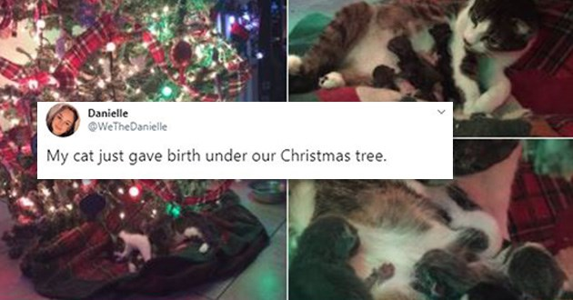 cat christmas tree birth tweets kittens aww cute | calico cat and her newborn kittens on a tartan blanket under a decorated and lit up Christmas tree tweet by WeTheDanielle My cat just gave birth under our Christmas tree
