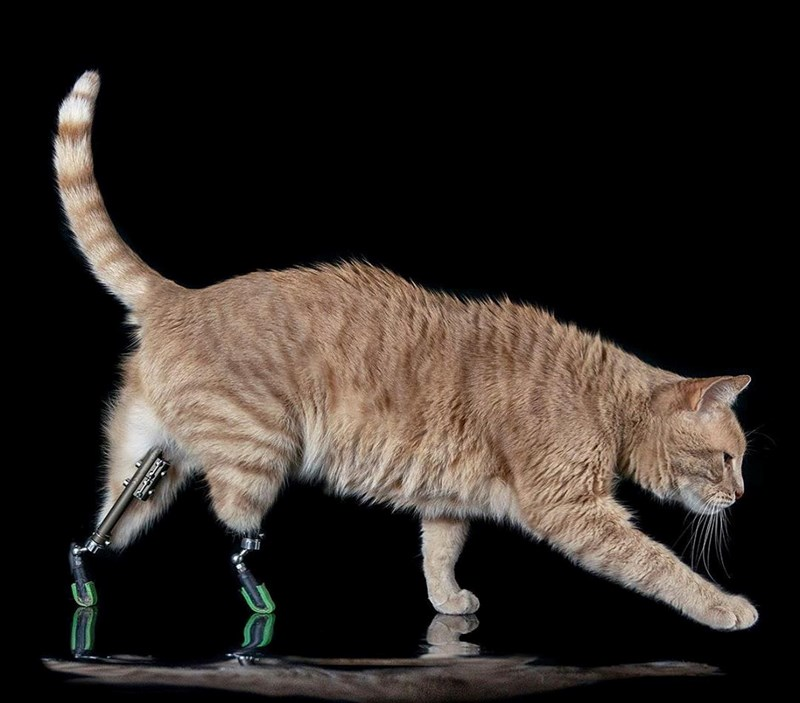 Bionic cat from Italy with prosthetic legs | ginger cat with its two back legs missing, instead wearing metallic prosthetic legs