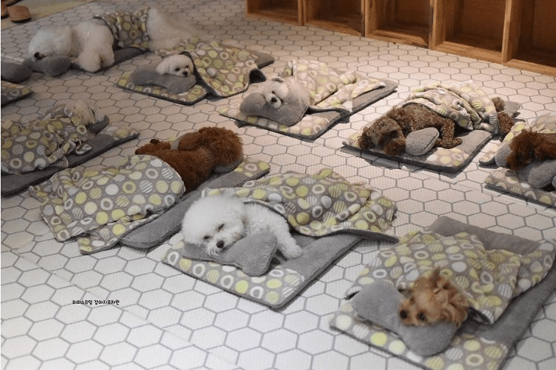 cute puppies sleeping in daycare center | two rows of tiny dog beds with different colored poodles sleeping in them