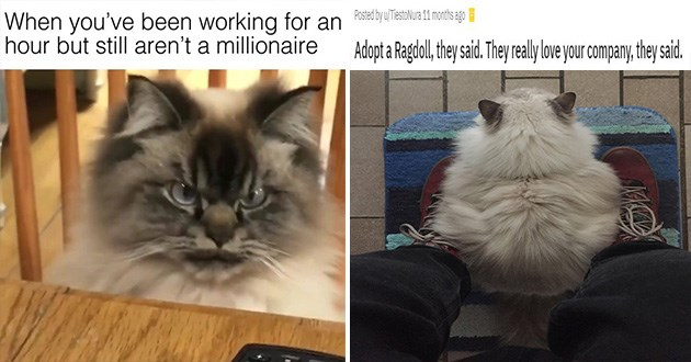 ragdolls cats cute aww appreication post animals kittens | very pissed off looking cat been working an hour but still aren't millionaire. fluffy cat sitting on a person's feet but facing away from them. by TiestoNura Adopt Ragdol, they said. They really lve our company, they said.