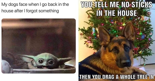 funny dog doggo memes cute lol aww animals | happy baby yoda My dogs face go back house after forgot something. german shepherd sitting in front of a Christmas tree. TELL NO-STICKS HOUSE THEN DRAG WHOLE TREE