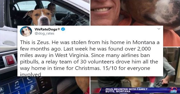 pitbull christmas miracle zeus dog dogs xmas heartwarming aww | dog_rates This is Zeus. He stolen his home Montana few months ago. Last week he found over 2,000 miles away West Virginia. Since many airlines ban pitbulls relay team 30 volunteers drove him all way home time Christmas. 15/10 everyone involved