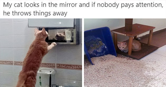 cats funny tweets lol twitter weird animals drama | pic of a cat stretching to look in a mirror and another pic of a cat sitting next to a tipped over litter box. cat looks himself in mirror and if nobody pays attention he tossing things over