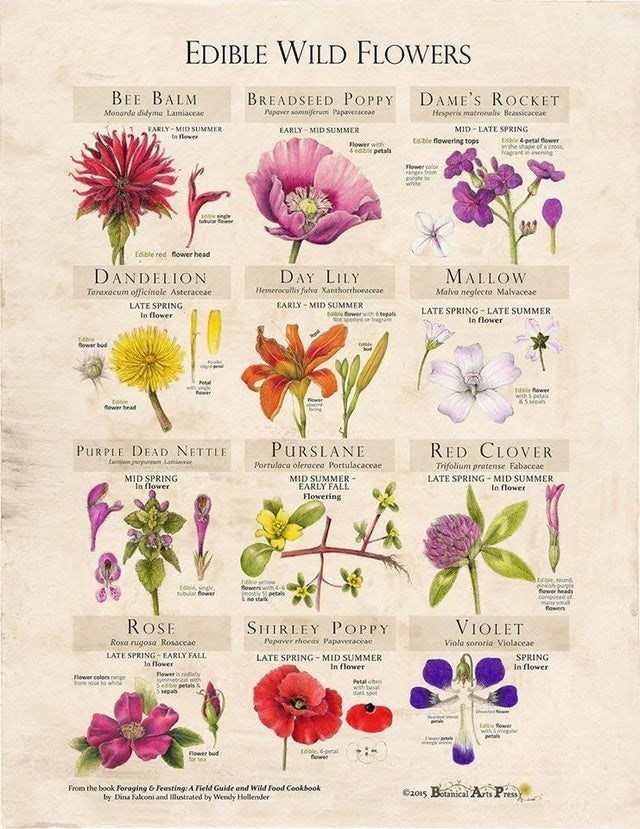 daily top ten collection of cool guides   Insect - EDIBLE WILD FLOWERS BEE BALM DAME'S ROCKET BREADSEED POPPY Monarda didyma Lamiaceae Popever somniferum Papaveraceae Hesperis matronealis Brassicaceae FARLY MID SUMMER EARLY MID SUMMER MID LATE SPRING lower Edible flowering tops Edkie petal fower shipe cross Tagrant evening Flower with 4 edible petalN Flower color vanges om purte te white tuvar fower flower head Edible red MALLOW Malva neglecta Malvaceae DANDELION DAY LILY Hemerocallis felva Xant