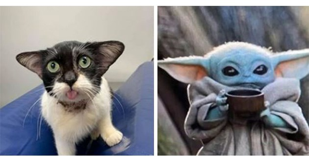 baby yoda cat viral cute aww animals rescue | cute black and white cat with big green eyes and long pointy ears that looks like baby yoda