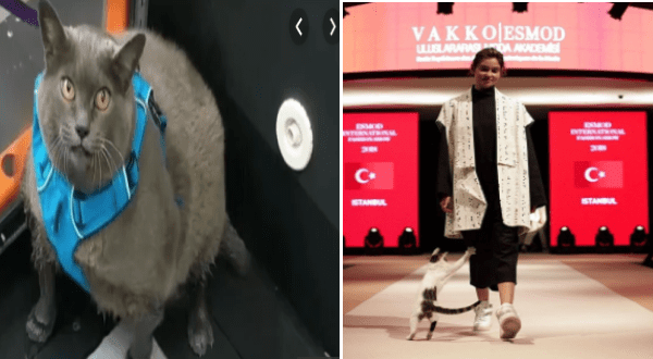 the best cats of 2019 | cinderblock the obese cat in a blue harness. cat playing on a runway during a fashion show. AKKOESMOD USLARARASDA AKADEMISİ debde ESMOD INTERNATIONA ESMOD INTERNATIONAL C* C* ISTANBUL ISTANBUL