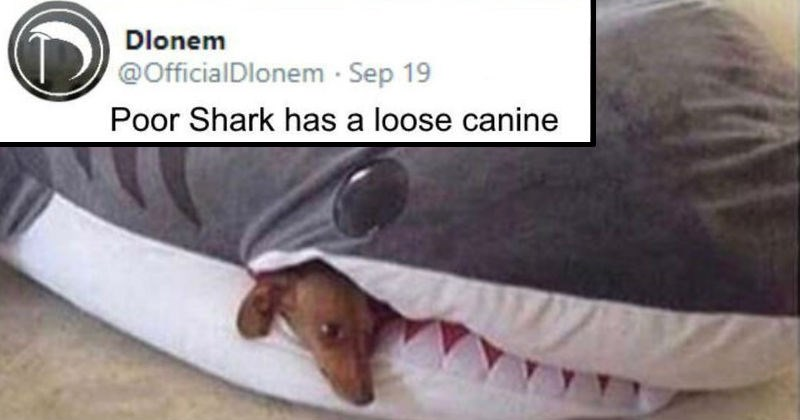Funny puns and wordplay memes | tiny dog peeking its head out of a shark plushie's mouth. OfficialDlonem Poor Shark has loose canine