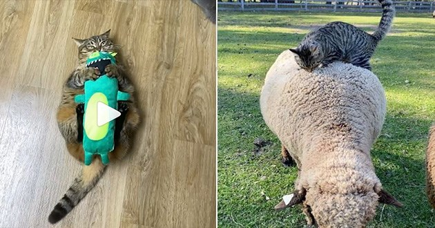 cats instagram video funny aww cute lol adorable kittens cat | big chonky cat lying on its back with a green stuffed toy over its belly. a grey cat climbing the back of a sheep.