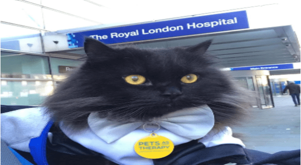 Fluffy therapy cat helps people in need | black fluffy cat wearing a bow tie and a tag that reads pets therapy, photo is taken outside the royal London hospital