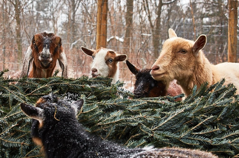 Christmas trees leftovers as food for goats | four goats eating an old Christmas tree in a snowy yard