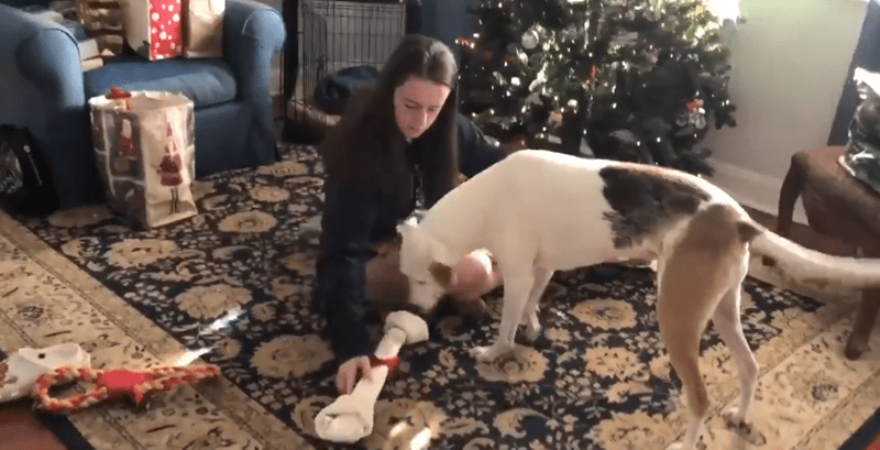 Blind dog reaction to christmas gift | woman sitting on the floor by a Christmas tree and presenting a big bone chew toy tied with a ribbon to a white dog sniffing it