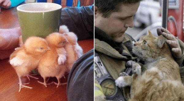 Amazing animal photos | group of baby chicks huddled around a green mug for warmth. a cat covered in dust looking up gratefully at the firefighter cradling it
